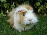 180px-guinea_pig-meerschweinchen.jpg